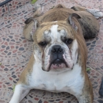Continental Bulldog Welpe Albert