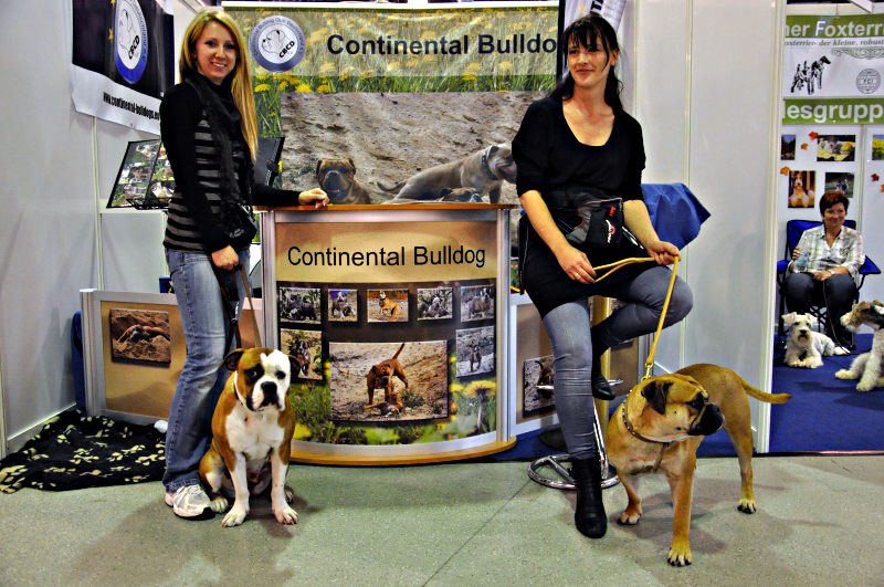 Continental Bulldog Welpen Germany