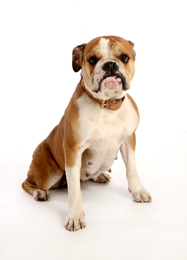 Continental Bulldog Female